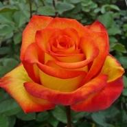 Роза чайно-гибридная Хай Меджик