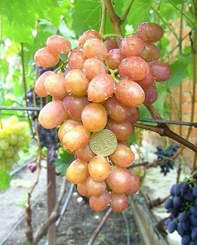 Виноград Хамелеон