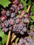 Виноград Харитон