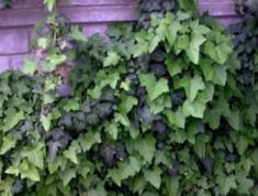 Плющ вечнозелёный Хедера Хеликс