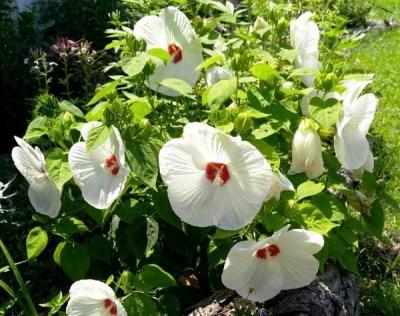 Гибискус травянистый белый