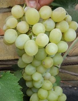 Виноград Хип Хоп