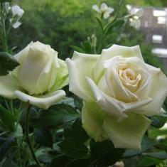 Роза миниатюрная Хонора
