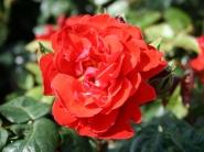 Роза чайно-гибридная Хорус
