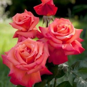 Роза чайно-гибридная Христофор Колумб \Christophe Colomb