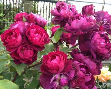 Роза Кардинал Хьюм (шраб)
