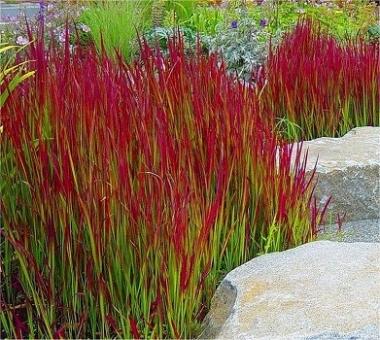 Императа цилиндрическая Ред Барон \ Imperata cylindrica Red Baron