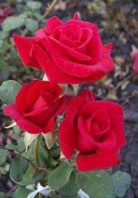 Роза чайно-гибридная Апопочка