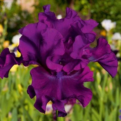 Ирис фиолетовый бархат