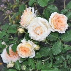 Роза бордюрная, спрей  Ирис