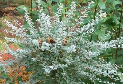 Ива ползучая Nitida/Salix repens Nitida