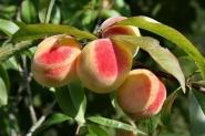 Персик Июньский ранний
