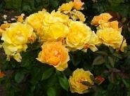 Роза флорибунда Изи Гоинг/Easy Going
