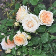 Роза бордюрная, спрей  Изис\Isis