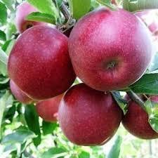 Яблоня колоновидная красномясая Чёрный магнат