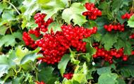 Калина красная Садовая