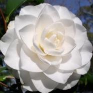 Камелия садовая белая