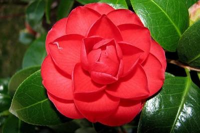 Камелия садовая красная