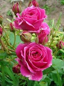 Роза миниатюрная Карат