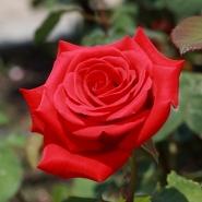 "Роза чайно-гибридная ""Кардинал 85""\""Kardinal 85"""