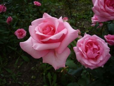 Роза чайно-гибридная Карина/Karina (контейнер 2л)