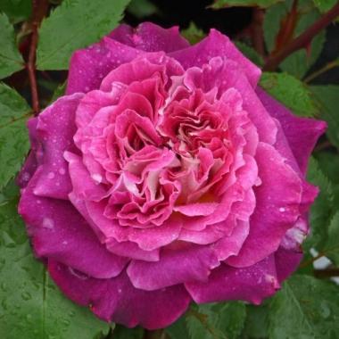Роза флорибунда Катрин