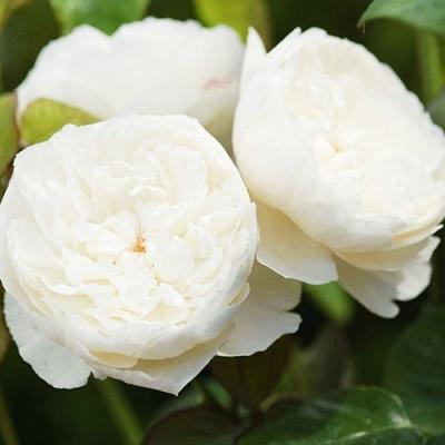 Роза английская William and Katherine