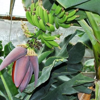 Банан супер карлик Кавендиш