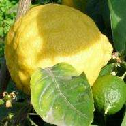 Дерево-сад лимон Киевский крупноплодный+ мандарин Кин Кан
