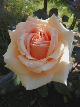 Роза чайно-гибридная Кинг Прайд