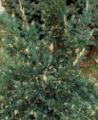 Кипарисовик туевидный Вариегатный
