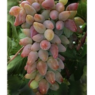 Виноград Кира