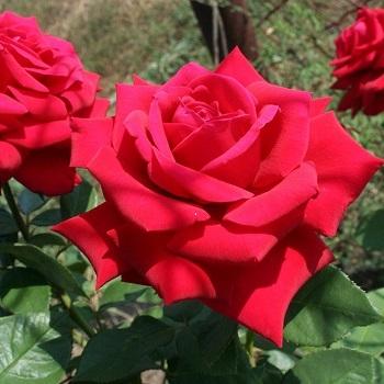 Роза чайно-гибридная Кирилл
