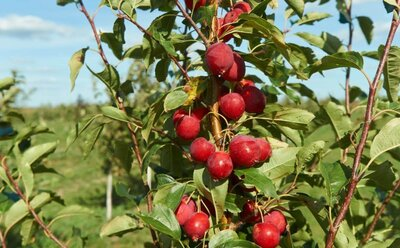Яблоня райская Китайка