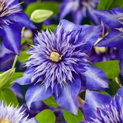 Клематис Multi Blue