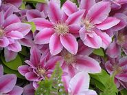 Клематис розовый Виль де Лион