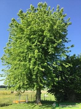 Клён серебристый Лациниатум Виери\ Acer saccharinum Laciniatum Wieri
