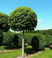 Клен шаровидный (platanoides 'Globosum')