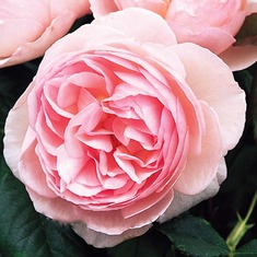 Роза английская Херитейдж/Heritage