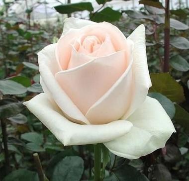 Роза чайно-гибридная Клин Оушен