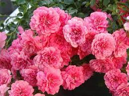 Роза почвопокровная Книрпс