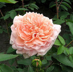 Роза английская Коллет