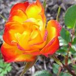 Роза бордюрная, спрей  Колибри