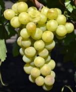 "Виноград ""Колобок"""