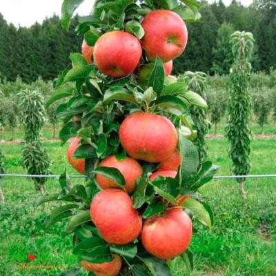 Яблоня колоновидная Баргузин