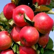 Яблоня колоновидная Черемош