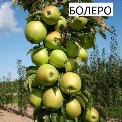 Яблоня колоновидная Болеро