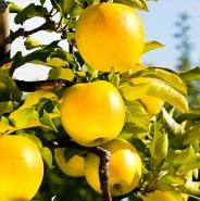 Яблоня осенняя колоновидная Медок