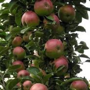 Яблоня колоновидная Спарта