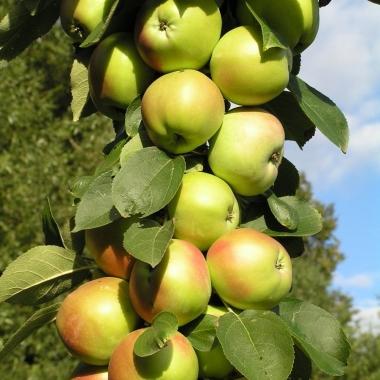 Яблоня колоновидная Патриот